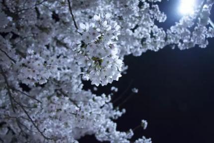 夜晚下的樱花