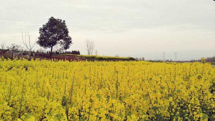 我的故乡变成了诗和远方——油菜花